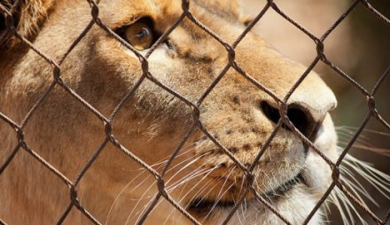 Lion Captivity
